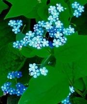 blue-flowers1