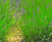 lavendar-crosshatch