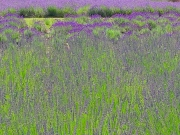 lavendar-field