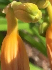 lily-bud